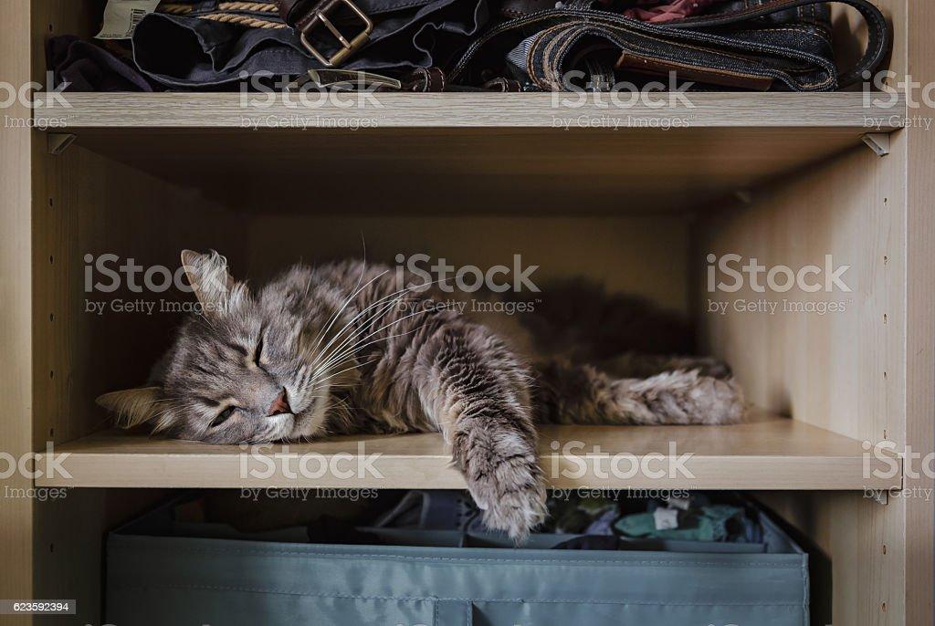 Chewie the cat resting on a wardrobe shelf 1 stock photo