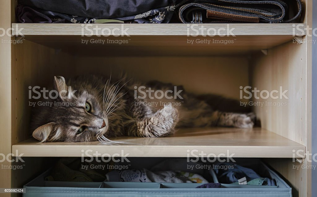 Chewie the cat resting on a wardrobe shelf 2 stock photo