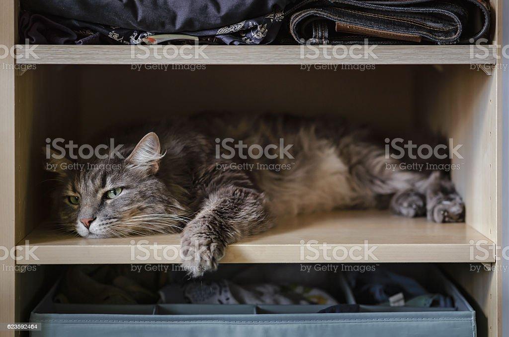 Chewie the cat resting on a wardrobe shelf 3 stock photo