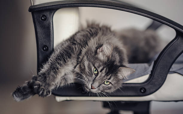 Chewie the cat stretching himself on the chair stock photo