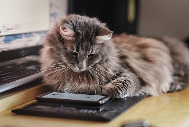 Chewie the cat watching at the smartphone screen picture id483561506?b=1&k=6&m=483561506&s=612x612&w=0&h=gpaol8qs0ecdwsv03jalylh rkohqs87fgkesqtpfvc=