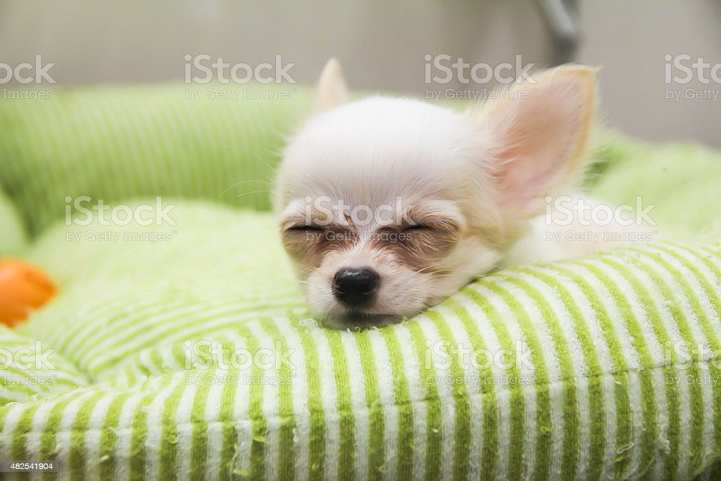 Chi Hua Hua puppy cute sleeping in a mattress stock photo