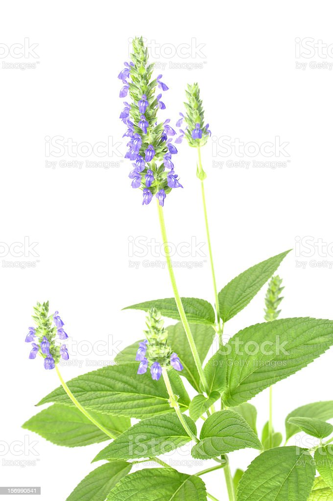 Chia flower stock photo