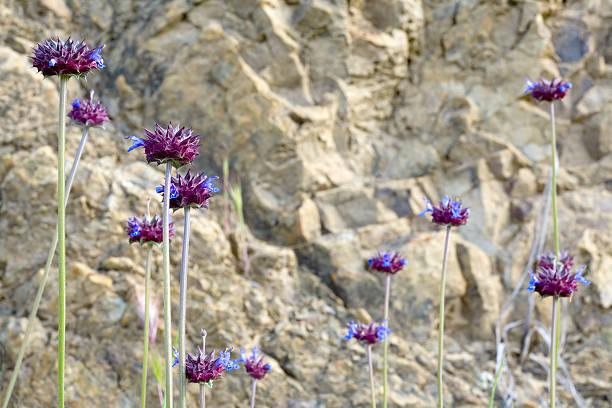 Chia Salvia columbariae – Foto