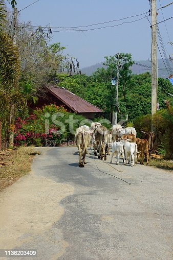 A small herd of Brahman diary cattle being herded down a rural road in Chiang Dao National Park, Thailand.