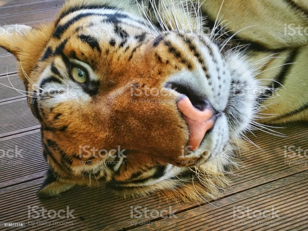 Chiang Mai, Tiger Kingdom, a cat is always a cat, huge but a cat stock photo