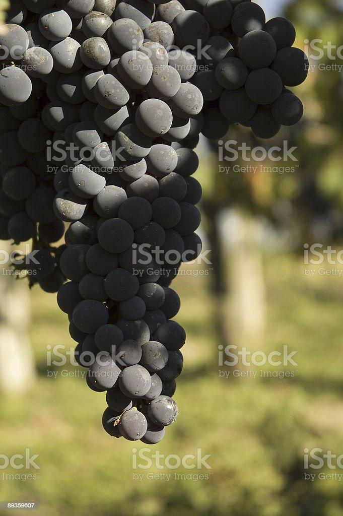 Chianti grape stock photo