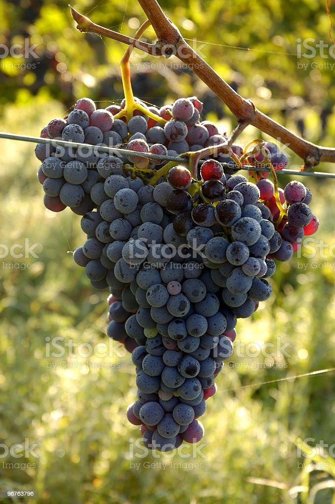 Chianti Grapes royalty-free stock photo