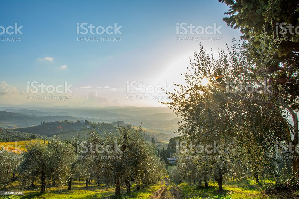 Chianti Region Olive Trees stock photo