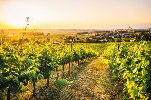 chianti vineyard in italy stock photo