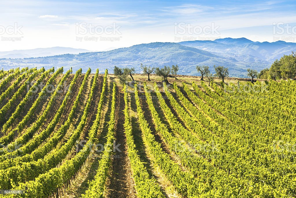 Chianti vineyard near Florence stock photo