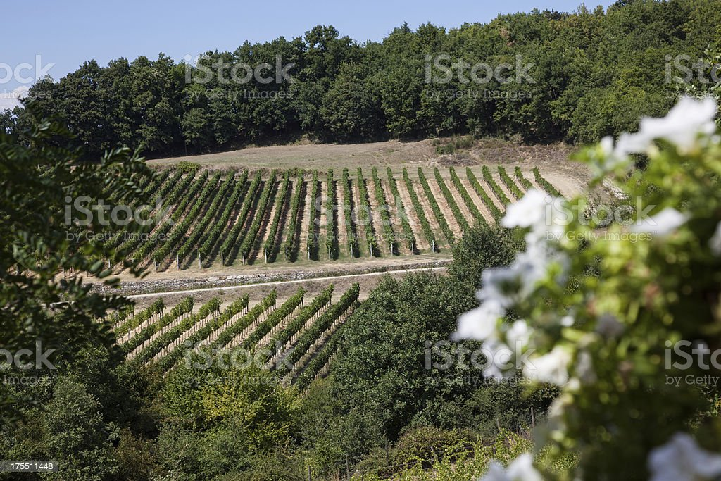 Chianti Vineyard on Sunny Day royalty-free stock photo