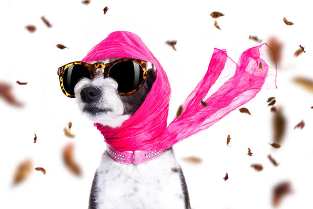 chic diva dog in autumn or fall windy chic fashionable diva luxury  cool dog with funny sunglasses, scarf and necklace, isolated on white background in autumn or fall with leaves dog fashion show stock pictures, royalty-free photos & images