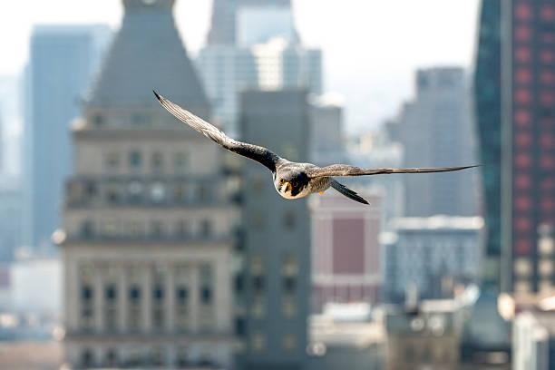 chicago flight - falcon bird stock photos and pictures