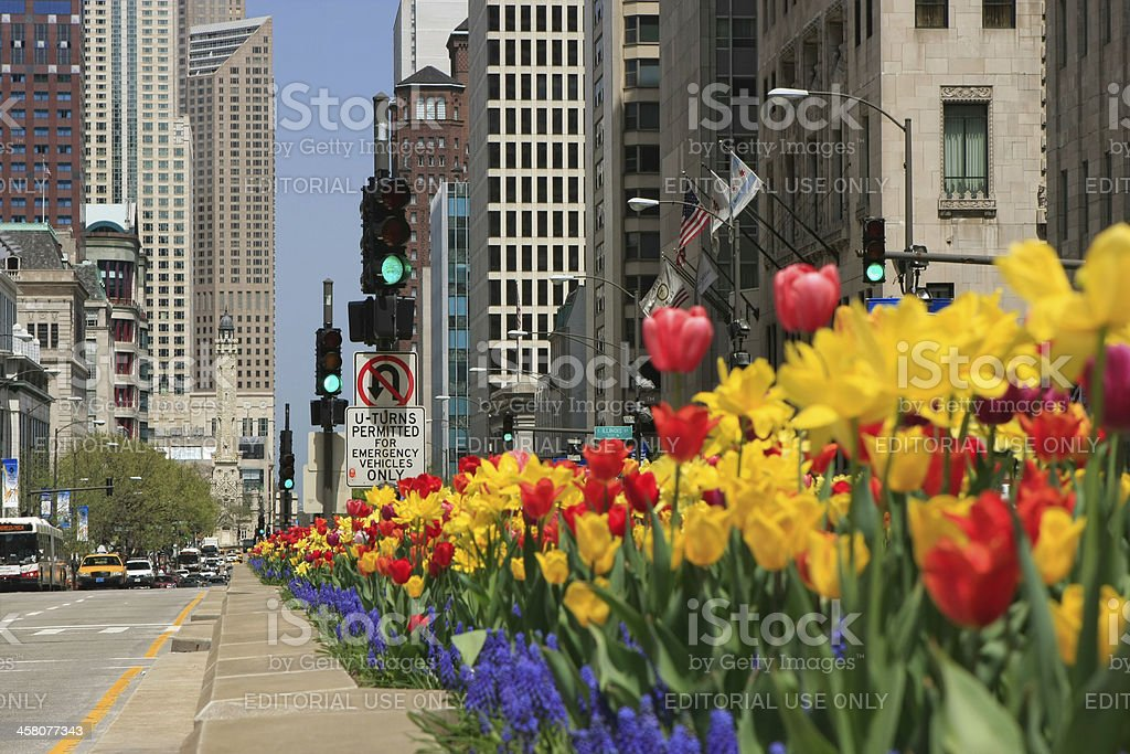 Chicago North Michigan Avenue Tulips stock photo