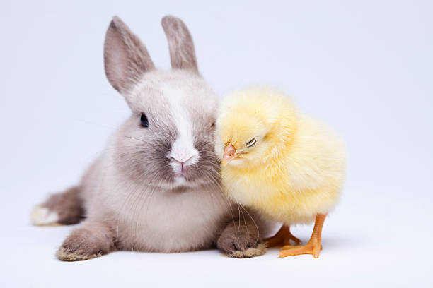 Chick and bunny stock photo