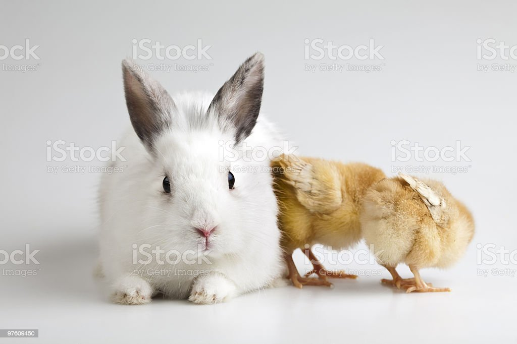 Chick and bunny royalty-free stock photo