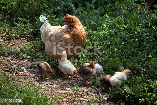 Mother hen with child chicks walk on green meadow