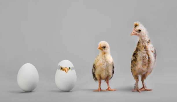 Chick and egg picture id652568034?b=1&k=6&m=652568034&s=612x612&w=0&h=rygs1iqjwfgm5qk8fvhhp2mjbdagw2iucsusmx3wkes=