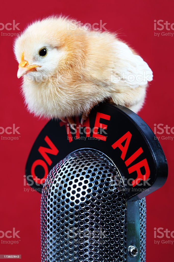 Chick and microphone royalty-free stock photo