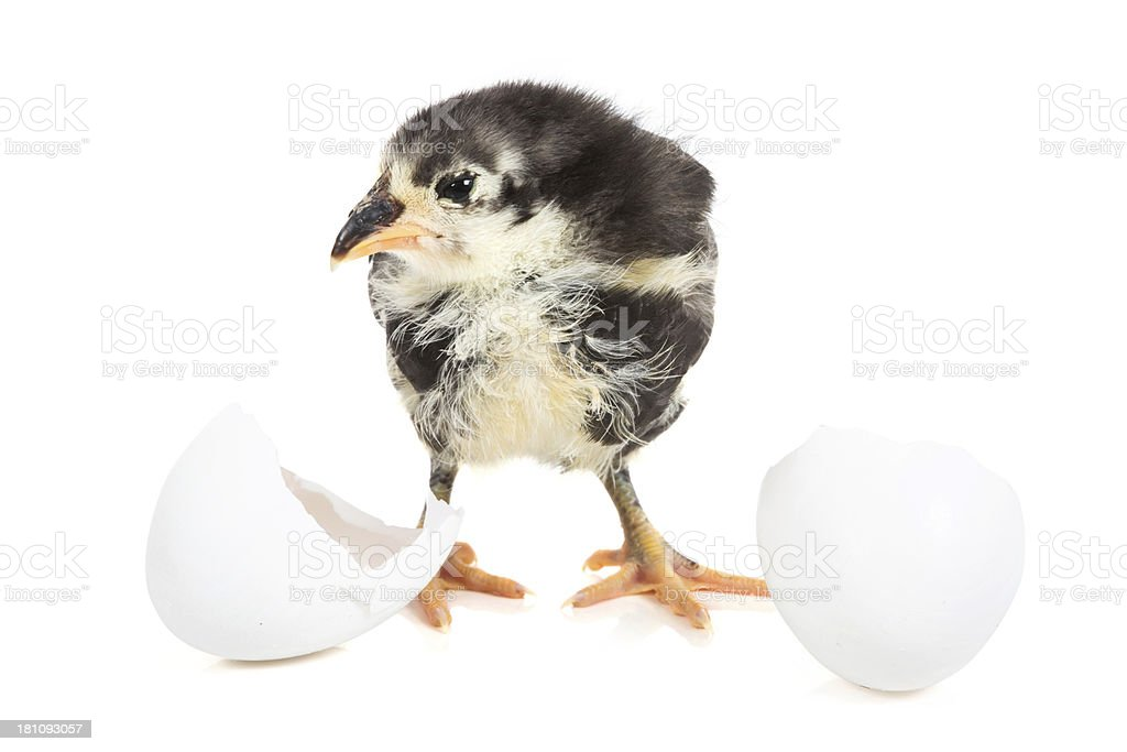 Chick breaking out of his shell royalty-free stock photo