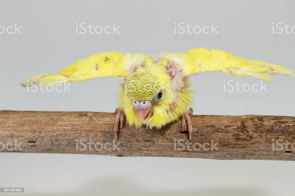 Chick Budgie, Budgarigar Oiseau Poussin photo libre de droits