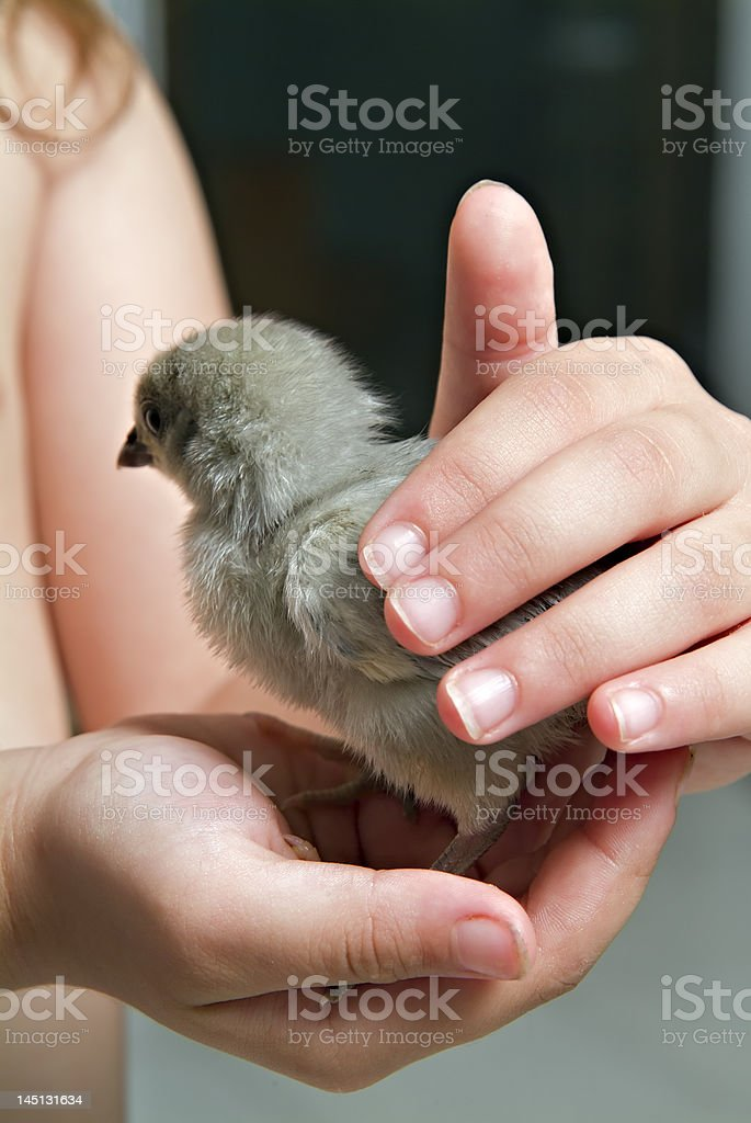 chick in child hand royalty-free stock photo