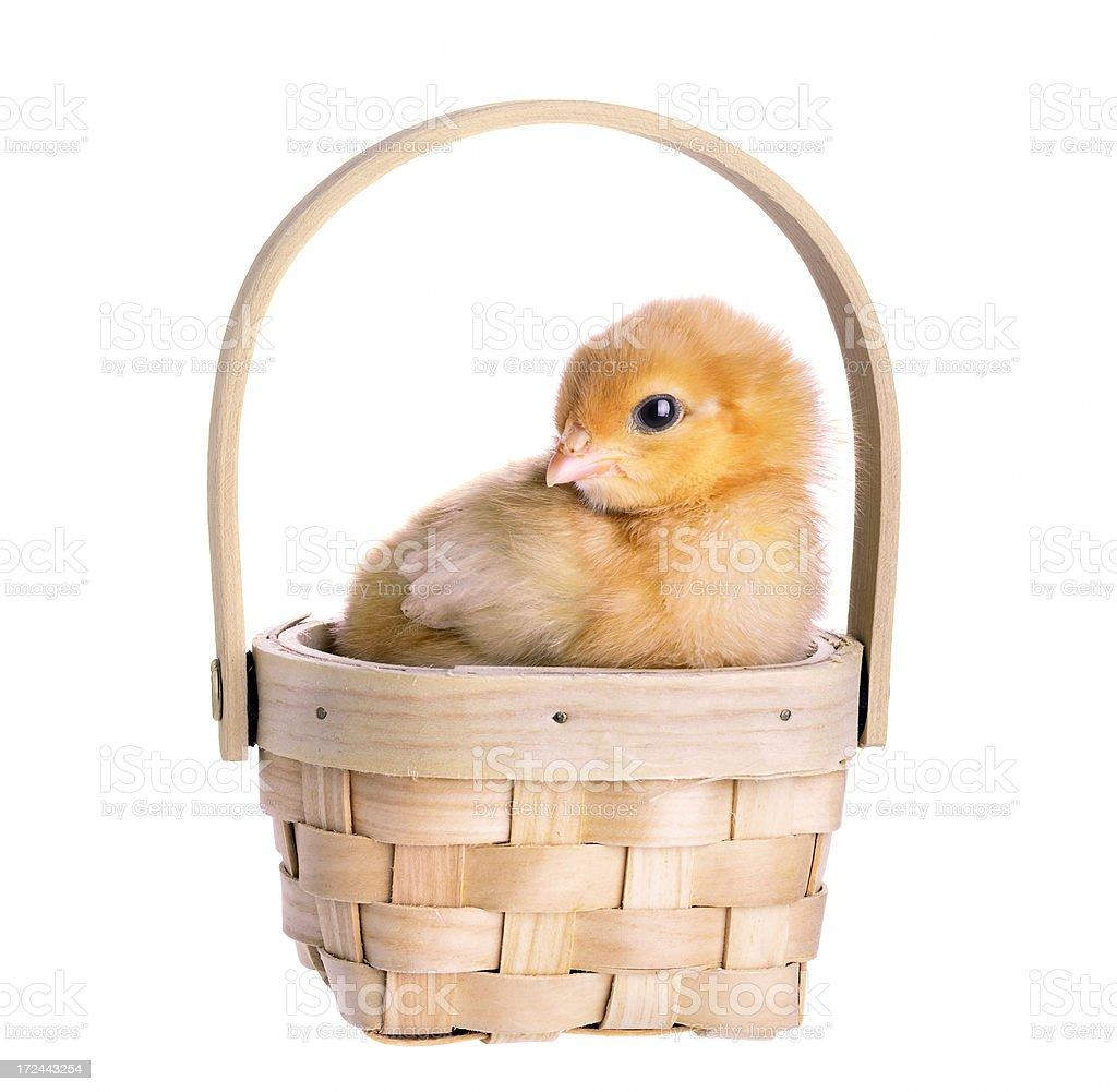 Chick in the basket royalty-free stock photo