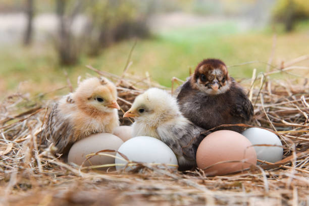 chick in the nest stock photo