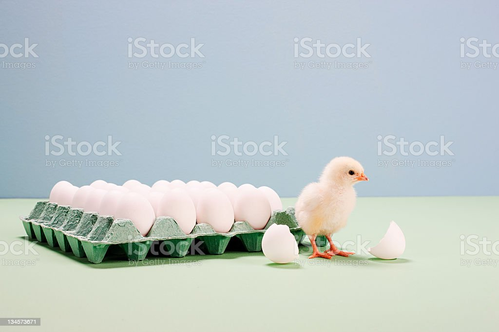 Chick next to broken egg by carton stock photo