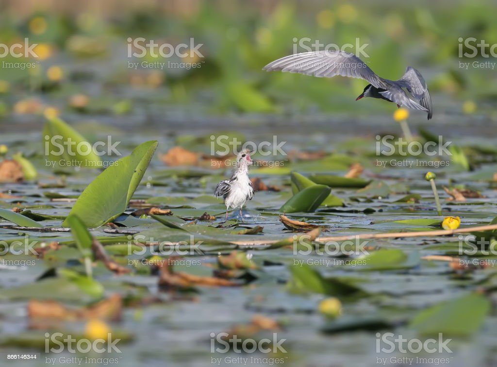 Chick of whiskered tern meet a parent with food stock photo