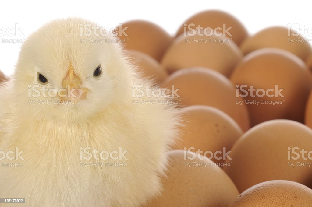 Chick on Eggs royalty-free stock photo