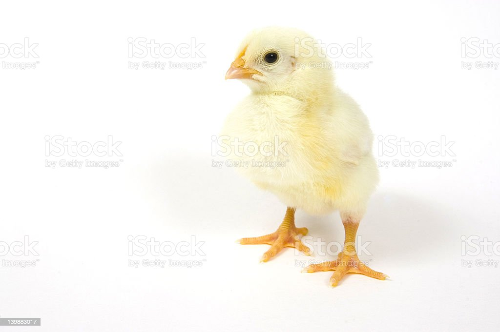 Chick on white background royalty-free stock photo