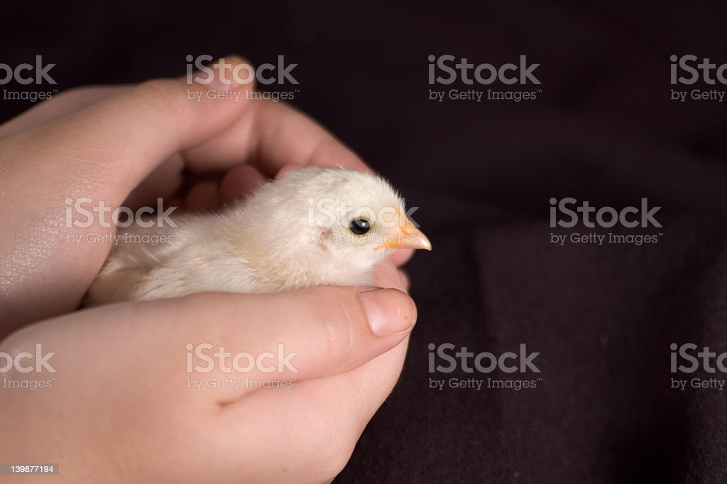 chick stock photo