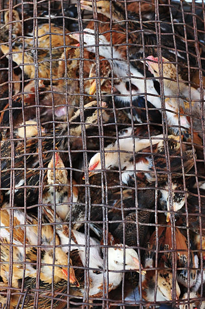 chick chick in cage ensnare stock pictures, royalty-free photos & images