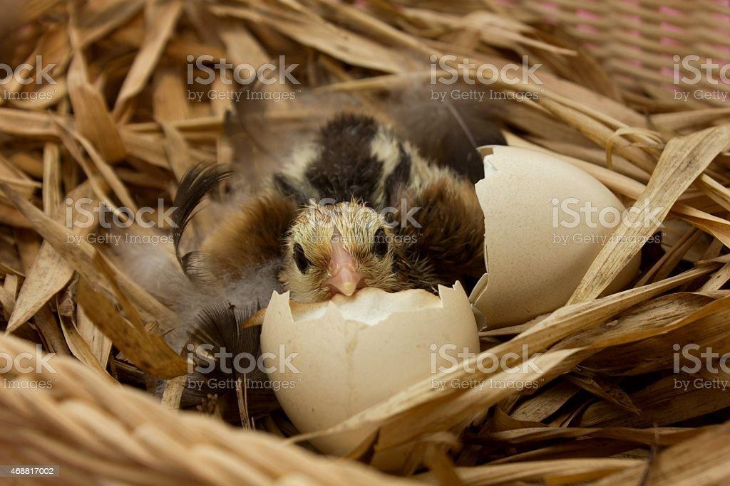 Chick stock photo
