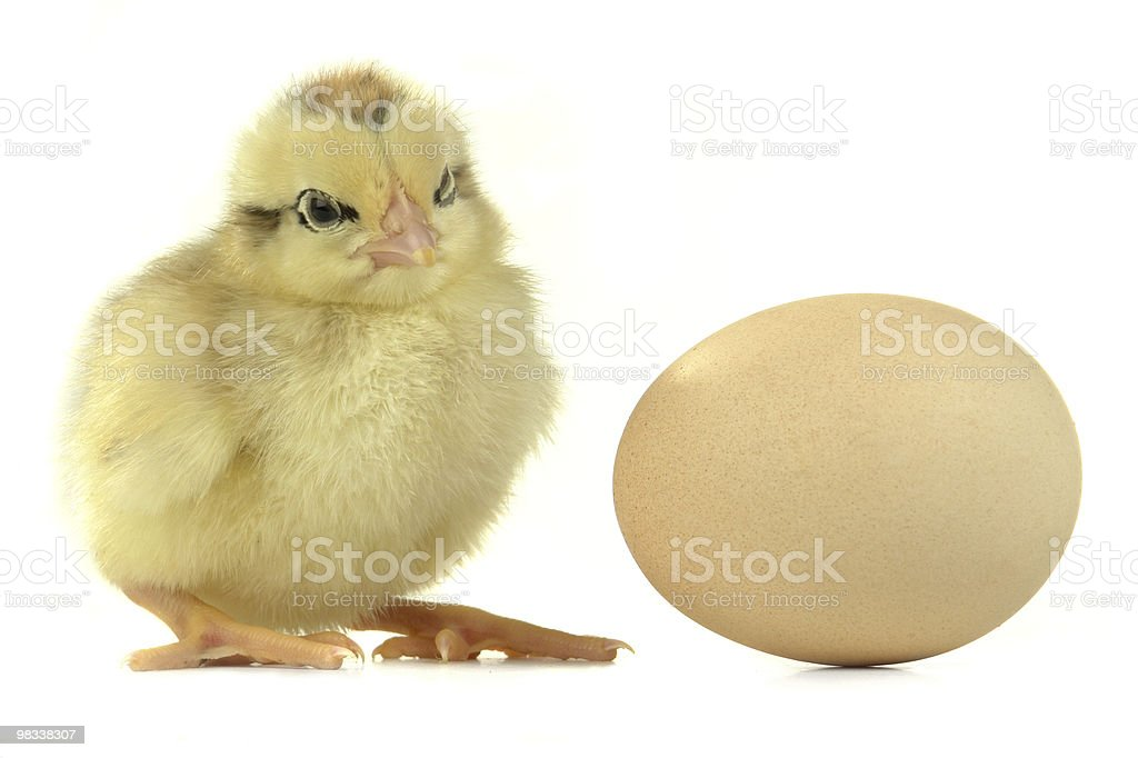 chick royalty-free stock photo