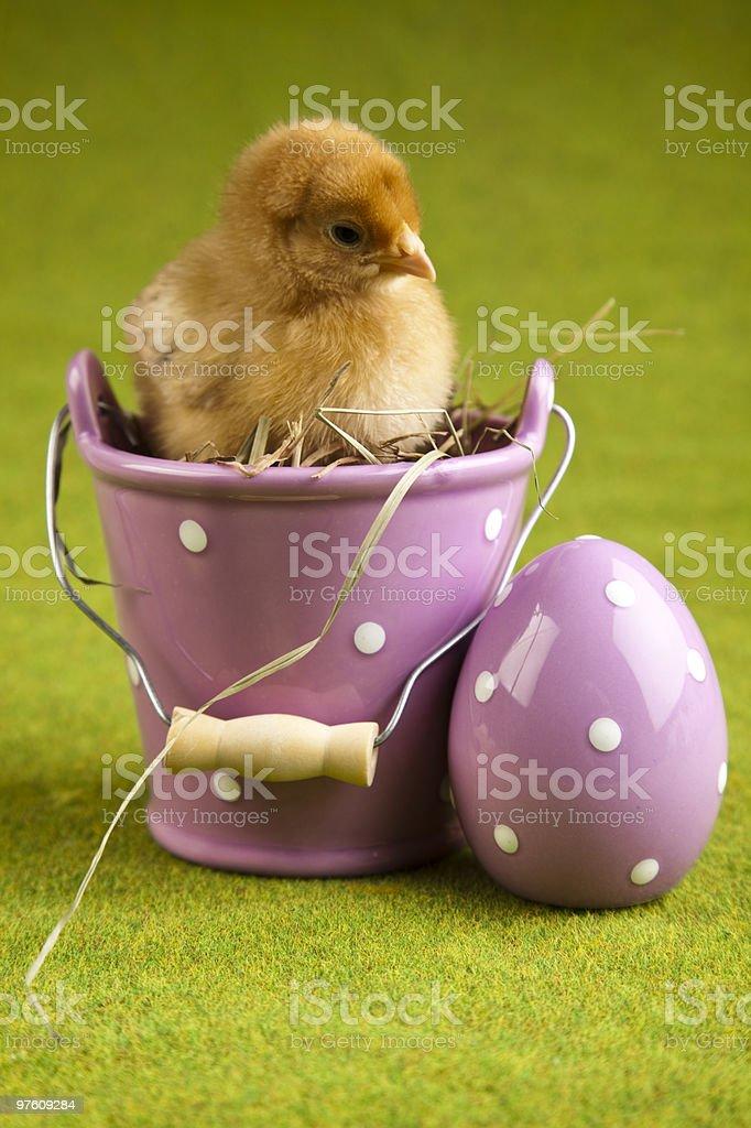 Chick Portrait royalty-free stock photo