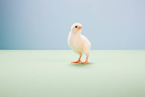 Chick standing with in studio stock photo