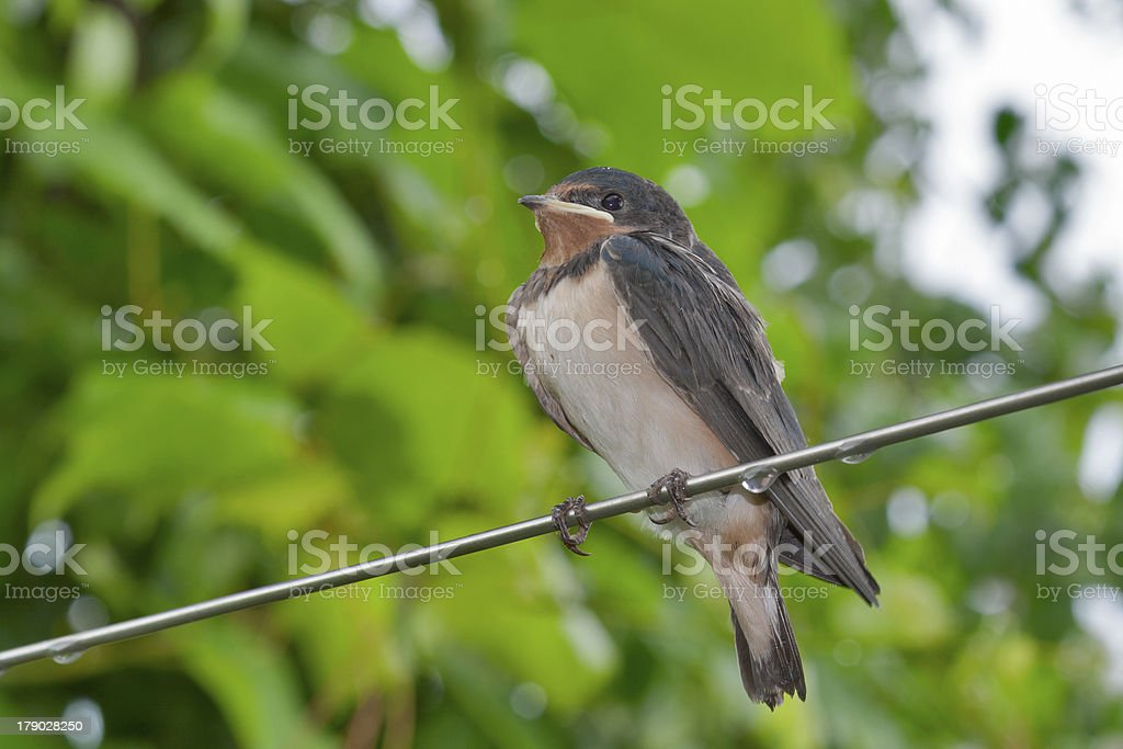 chick swallow (Hirundo rustica) royalty-free stock photo