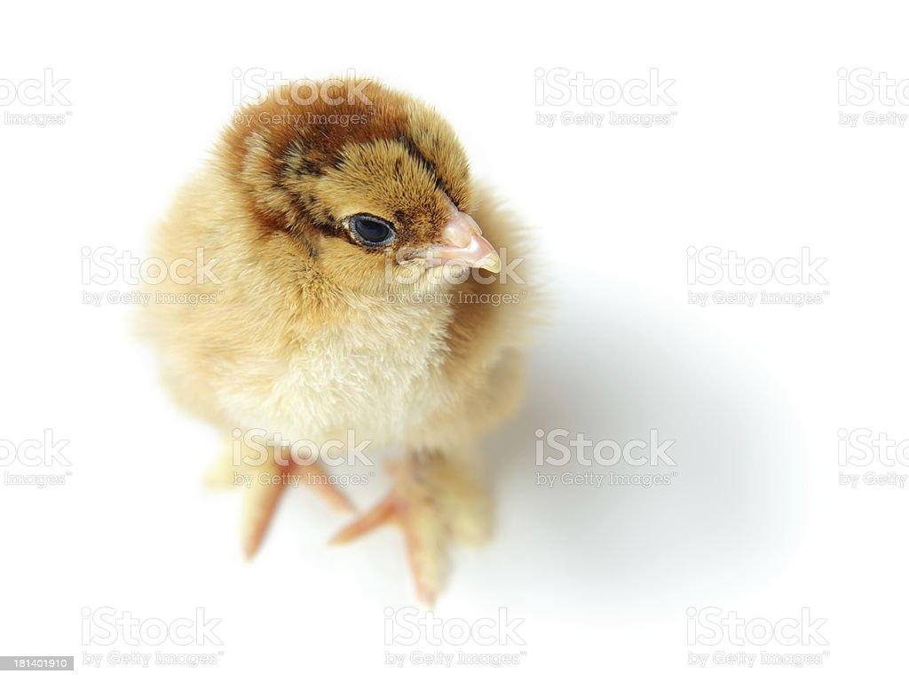 chick top view royalty-free stock photo