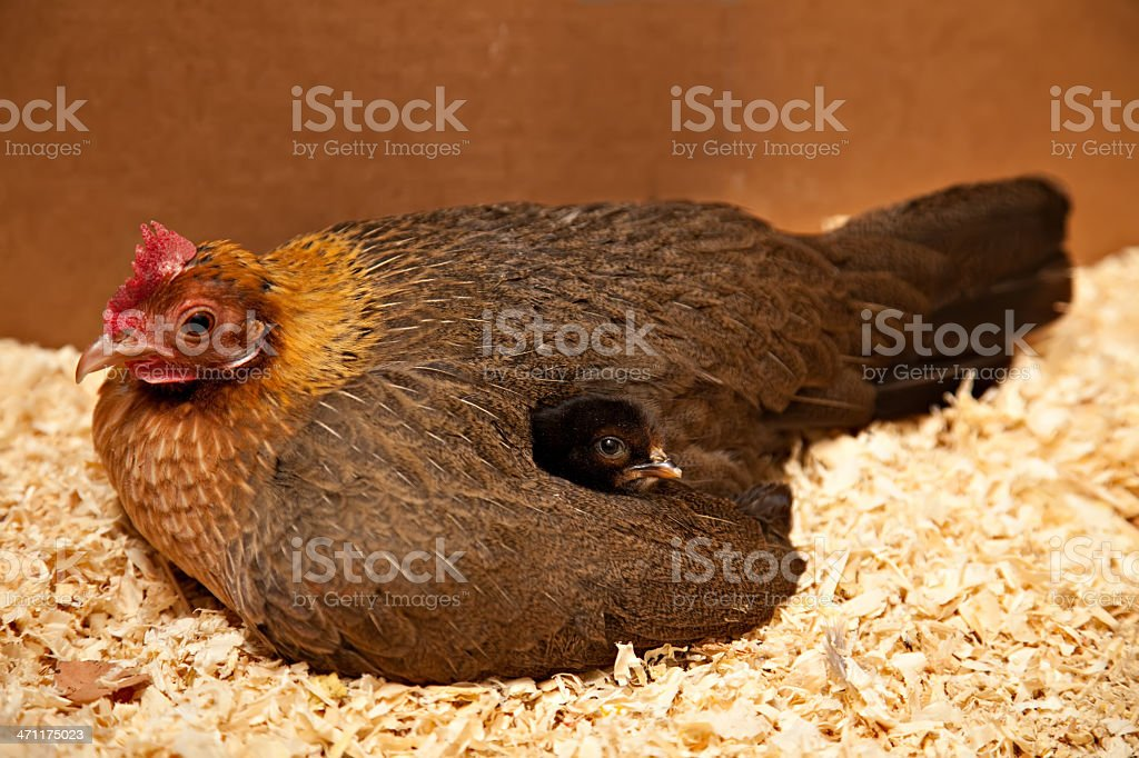 Chick Under Wing stock photo