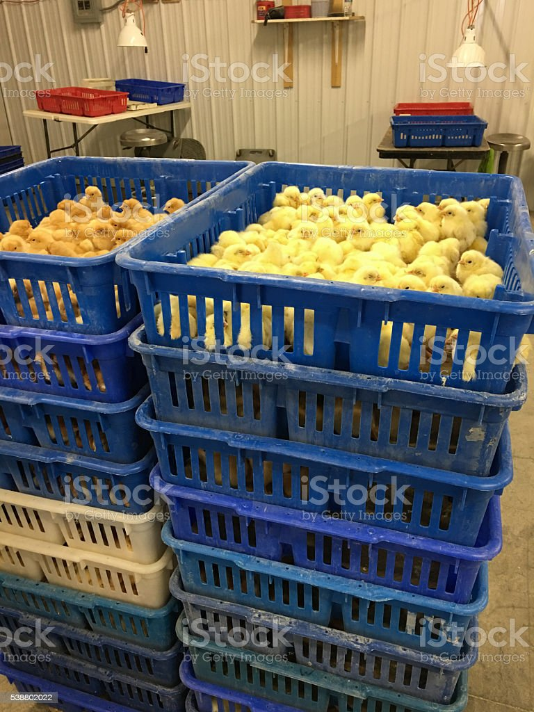 chick waiting to ship from hatchery stock photo