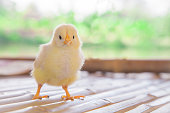 Chick young baby looking his you at poultry farm . Baby chick cute innocent Concept .