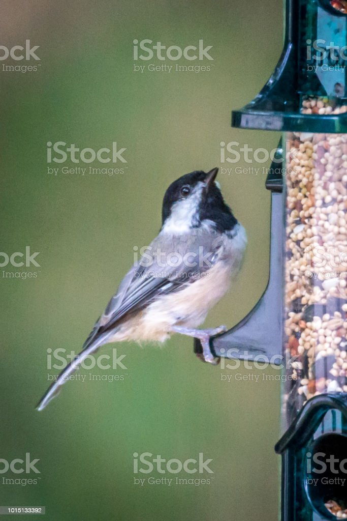 Chickadee at bird feeder filled with seed stock photo