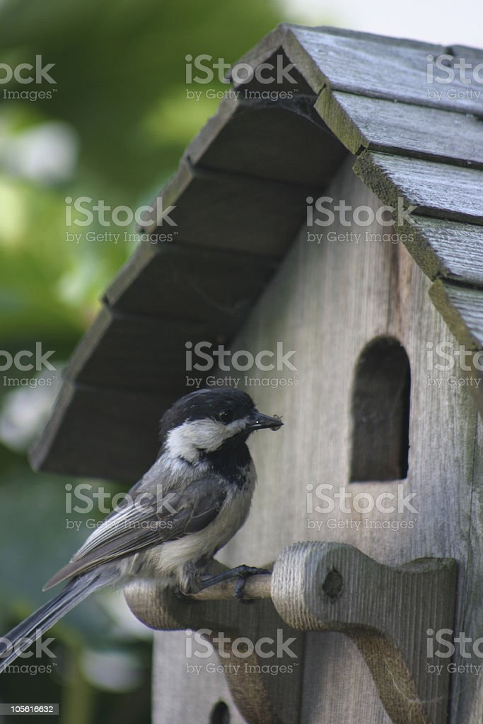 Chickadee at home royalty-free stock photo