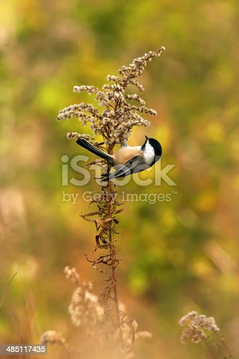 A small chickadee clings almost upside down to a stalk of golden rod in a beautiful, warm, rural field.