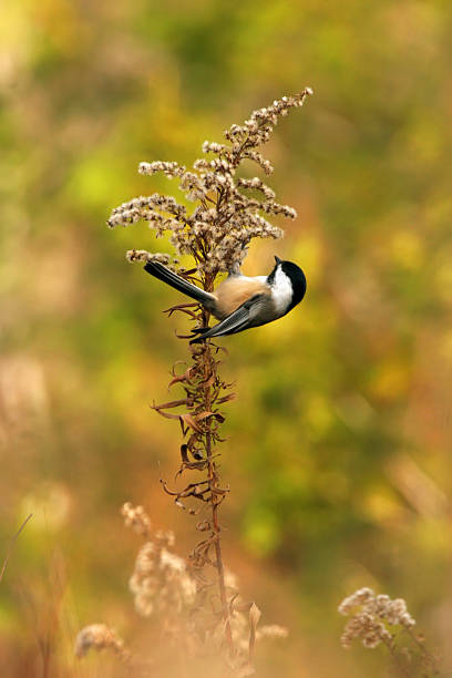 Chickadee clinging to a plant in a beautiful field A small chickadee clings almost upside down to a stalk of golden rod in a beautiful, warm, rural field. chickadee stock pictures, royalty-free photos & images