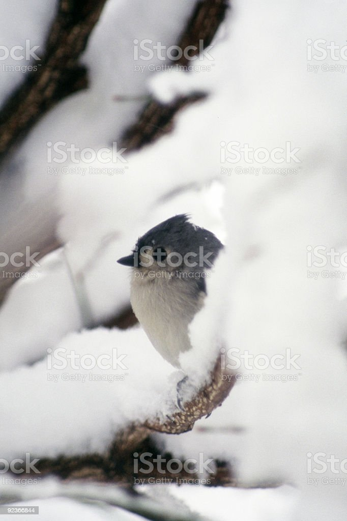 Chickadee in Snow royalty-free stock photo