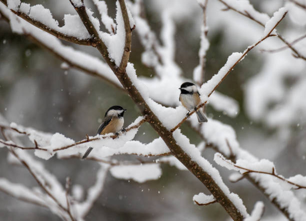 chickadee in snowy forest chickadee in snowy forest chickadee stock pictures, royalty-free photos & images